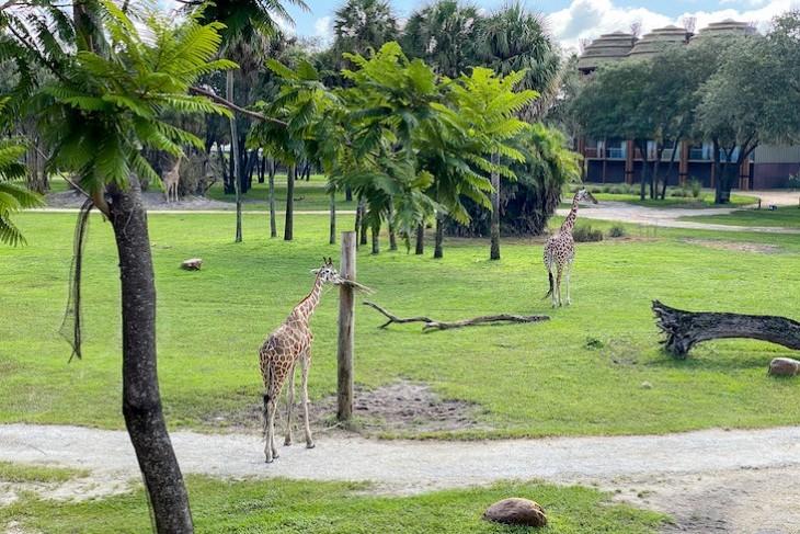 The resort's savanna