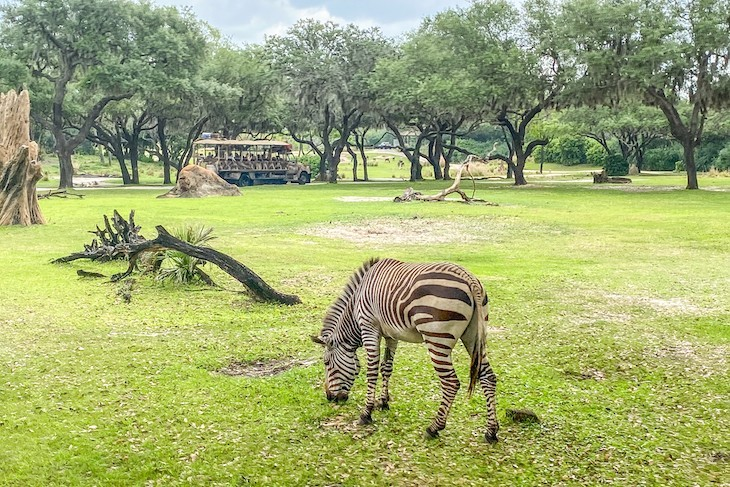 Zebras on the savanna